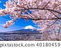 """""""山梨縣""""富士山和櫻花盛開 40180459"""