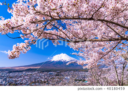 """""""Yamanashi Prefecture"""" Mt. Fuji and cherry blossoms in full bloom 40180459"""