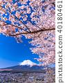"""""""山梨縣""""富士山和櫻花盛開 40180461"""