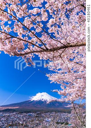 富士山 櫻花 櫻 40180461