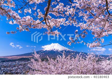 """""""山梨縣""""富士山和櫻花盛開 40180463"""