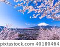 """""""山梨縣""""富士山和櫻花盛開 40180464"""