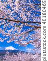 """""""山梨縣""""富士山和櫻花盛開 40180465"""