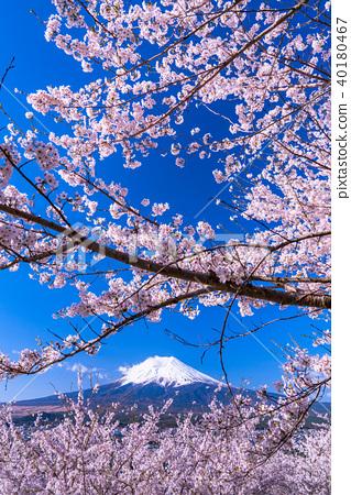 富士山 櫻花 櫻 40180467