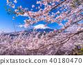 """""""山梨縣""""富士山和櫻花盛開 40180470"""