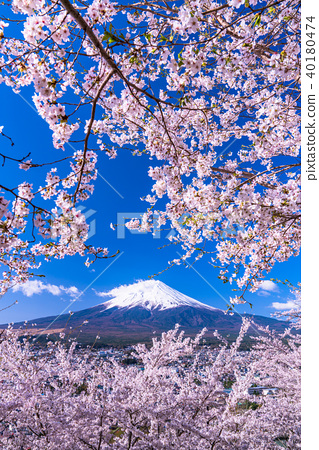 富士山 櫻花 櫻 40180474