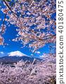 """""""山梨縣""""富士山和櫻花盛開 40180475"""