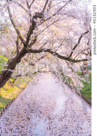 Sakura Ukihori flower raft in Hirosaki Park - Stock Photo [40192903