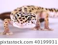 Closeup of gecko 40199931