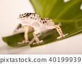 Closeup of gecko 40199939