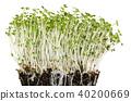 White mustard seedlings in potting compost 40200669