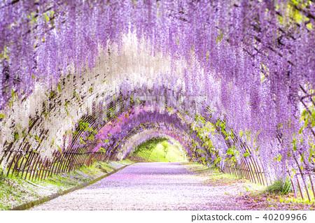 카와 藤園 등나무 터널 40209966