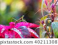 螳螂 螳 蟲子 40211308