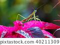 螳螂 螳 蟲子 40211309
