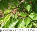 산벚나무, 열매, 과실 40211543