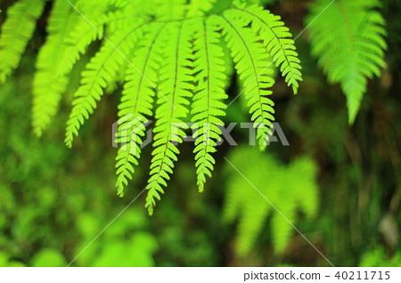 蕨類植物 40211715