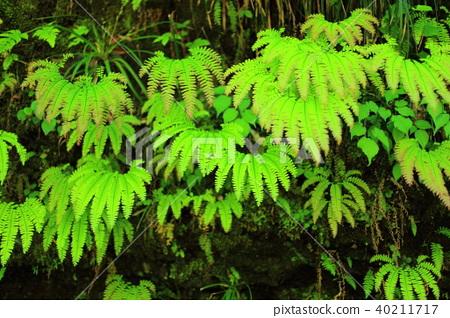 蕨類植物 40211717