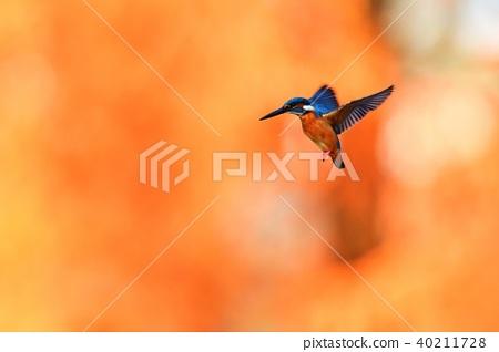 盤旋在一片黃色葉子的翠鳥 40211728