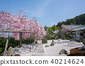 교토 圓光寺의 벚꽃 40214624