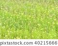 냉이, 유채, 평지꽃 40215666