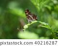 수컷, 나비, 곤충 40216287