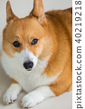 Welsh Corgi Pembroke dog 40219218