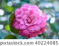 山茶花 日本山茶 花朵 40224085