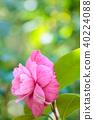 山茶花 日本山茶 花朵 40224088