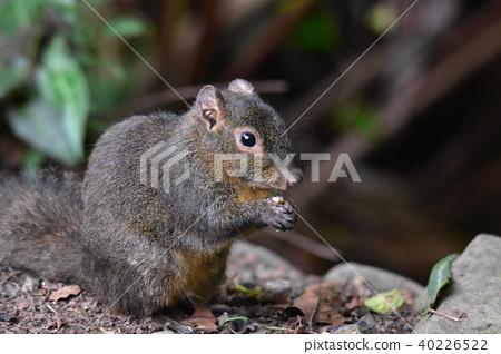 Long kiss squirrel 40226522