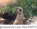 A meerkat looks at some thing 40229473