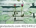 Water lily flower, pond (Flower of Water Lily) 40234912