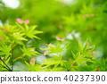 신록, 푸른 단풍, 초록 단풍 40237390