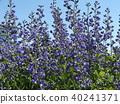 Melasaki Sendaihagi藍色紫色美麗的花 40241371