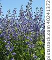Melasaki Sendaihagi藍色紫色美麗的花 40241372