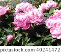 chinese peony, pink, bloom 40241472