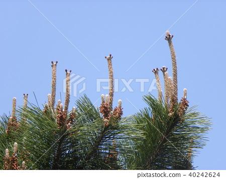 black pine, pistillate flower, conifer 40242624