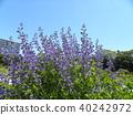 Melasaki Sendaihagi藍色紫色美麗的花 40242972