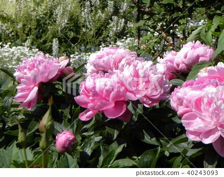 작약, 함박꽃, 분홍색 40243093