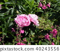 chinese peony, pink, bloom 40243556