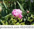 chinese peony, pink, bloom 40243658
