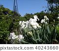 german iris, bloom, blossom 40243660