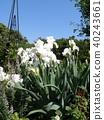 german iris, bloom, blossom 40243661