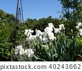 german iris, bloom, blossom 40243662