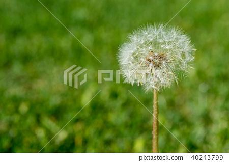 Selective focus on dandelion flowers  40243799