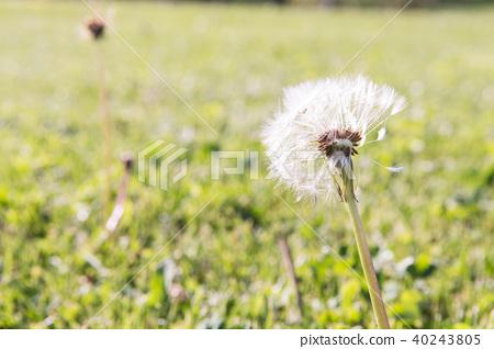 Selective focus on dandelion flowers  40243805