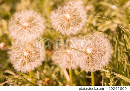 Selective focus on dandelion flowers  40243809