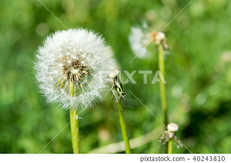 Selective focus on dandelion flowers  40243810