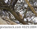 Coastal Great Horned Owl Chick 40251884