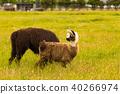 Cute alpaca over green glass field 40266974