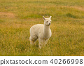 Baby Alpaca playing over green glass 40266998